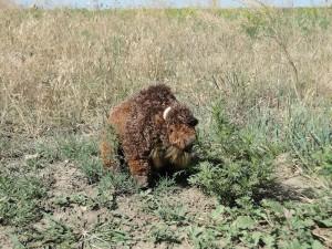 Solitary roaming buffalo