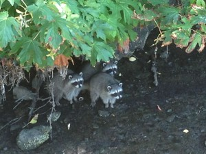 Three raccoons foraging for dinner near the marina